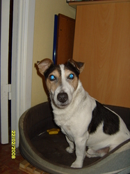 Lucky, chien Jack Russell Terrier