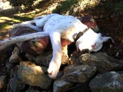 Lucky, chien Dogue argentin