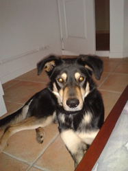 Lucky, chien Beauceron