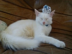 Lucky, chat Angora turc