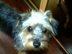Lucky, chien Yorkshire Terrier