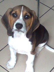Lucky, chien Beagle