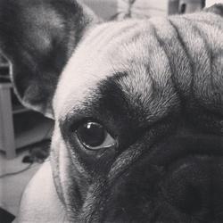 Lucky, chien Bouledogue français