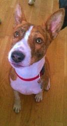 Lucky, chien Basenji