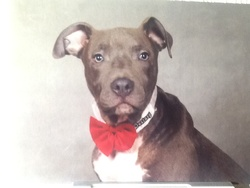 Lucky, chien American Staffordshire Terrier