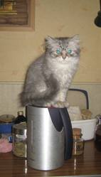 Lucky, chat Scottish Fold à poil long
