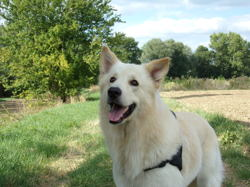 Lucky, chien Berger blanc suisse