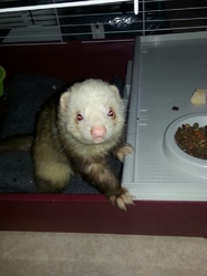 Lucky, rongeur Furet