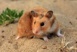 Lucky, rongeur Hamster
