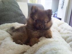 Lucky, chien Spitz allemand
