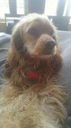 Lucky, chien Cocker anglais