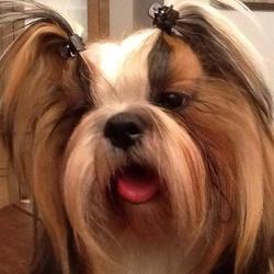 Lucky, chien Shih Tzu