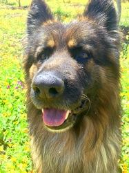 Lucky, chien Berger allemand