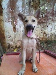Lucky, chien Berger d'Islande