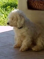 Lucky, chien Bichon à poil frisé
