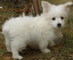 Lucky, chien Bichon maltais