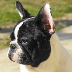 Lucky, chien Bulldog