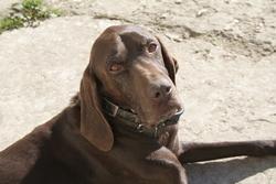 Lucky, chien Braque allemand à poil court