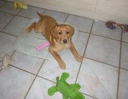Lucky, chien Golden Retriever