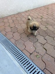 Lucky, chien Épagneul tibétain