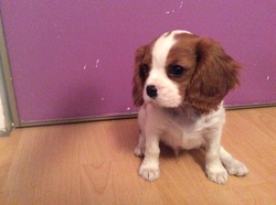 Lucky, chien Cavalier King Charles Spaniel