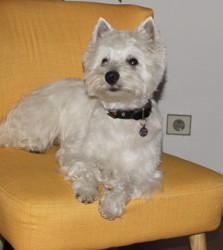 Lucky, chien West Highland White Terrier
