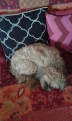 Lucky, chien Lhassa Apso