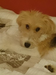 Lucky, chien Fox-Terrier