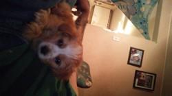 Lucky, chiot Dandie Dinmont Terrier
