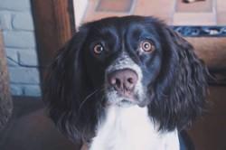 Lucky, chien Springer anglais