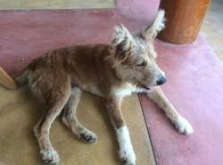Lucky, chien Berger de Picardie