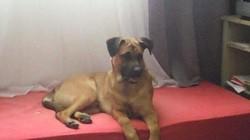Lucky, chien Dogue de Bordeaux