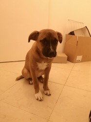 Lucky, chiot Staffordshire Bull Terrier