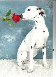 Lucky, chien Dalmatien