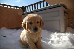 Lucky Et Lizzy, chien Golden Retriever