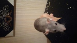 Lucy, rongeur Rat