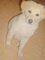 Lucya, chien Labrador Retriever