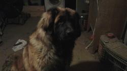 Ludo, chien Leonberger
