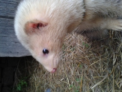 Luffy, rongeur Furet