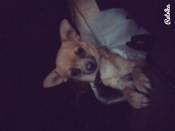 Luffy, chien Chihuahua