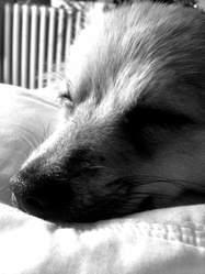 Lugia, chien Spitz allemand