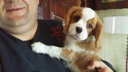 Luigi, chien Cavalier King Charles Spaniel