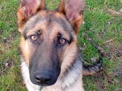 Luigi, chien Berger allemand