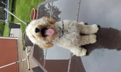 Luky, chien Caniche