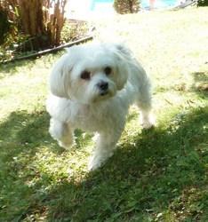 Lula, chien Bichon maltais