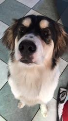 Lula, chien Malamute de l'Alaska