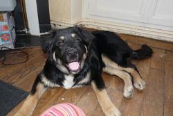 Lula, chien Berger australien