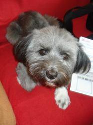 Lulie, chien Lhassa Apso