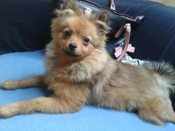 Lulla, chien Spitz allemand
