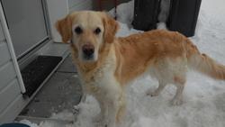 Lullaby, chien Golden Retriever